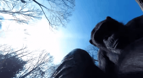 Chimps Attack Aerial Drone That Invades Their Personal Space