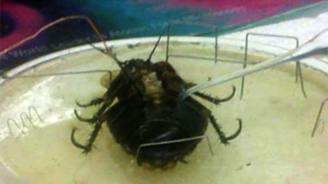Scientists Generate Electricity Inside Living Cockroach