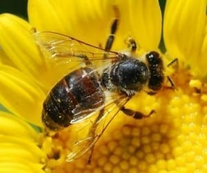 Robot Bees Set to Take to the Air in 2015