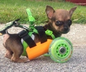 TurboRoo Two-Legged Chihuahua Can Walk Again Thanks to 3D Printing